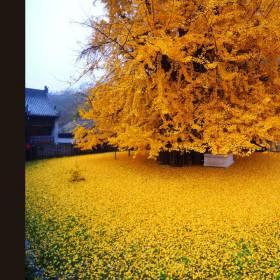 China: Árvore milenar pinta o chão de dourado