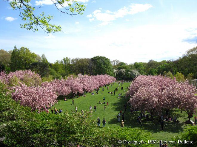 O auge da floração da esplanada das Cerejeiras, no Brooklyn Botanic Garden